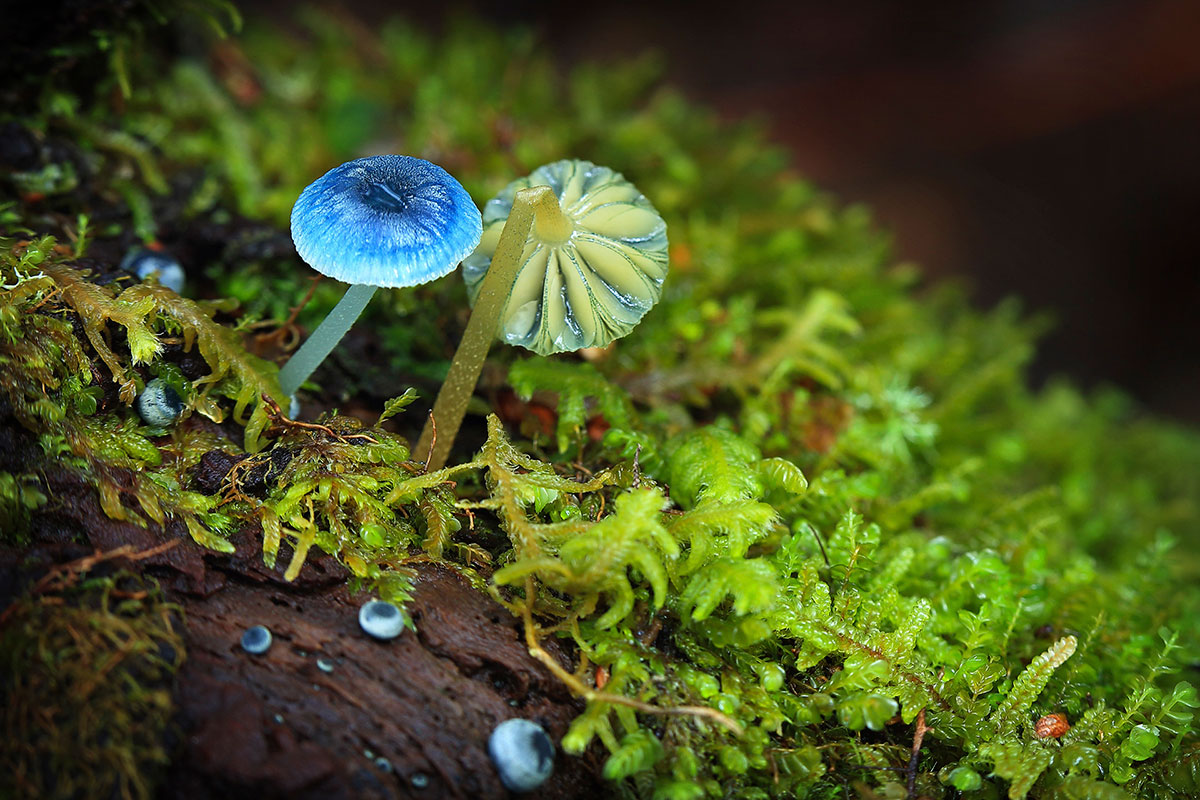 Mycena interrupta, The Tarkine by Tourism Tasmania and Arwen Dyer