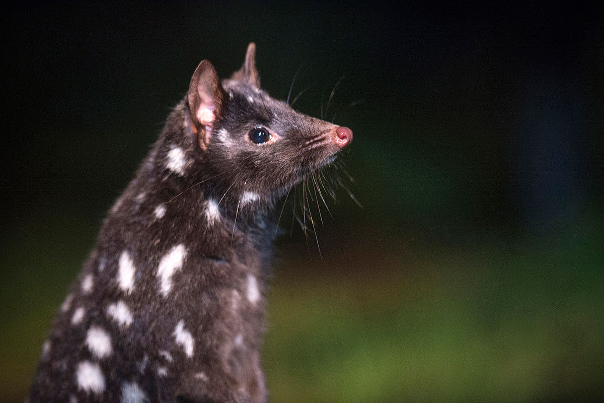 Spotted-tail Quoll (Dasyurus maculatus) by Tourism Tasmania & Rob Burnett Devils @ Cradle, Tasmanian Devil Sanctuary –
