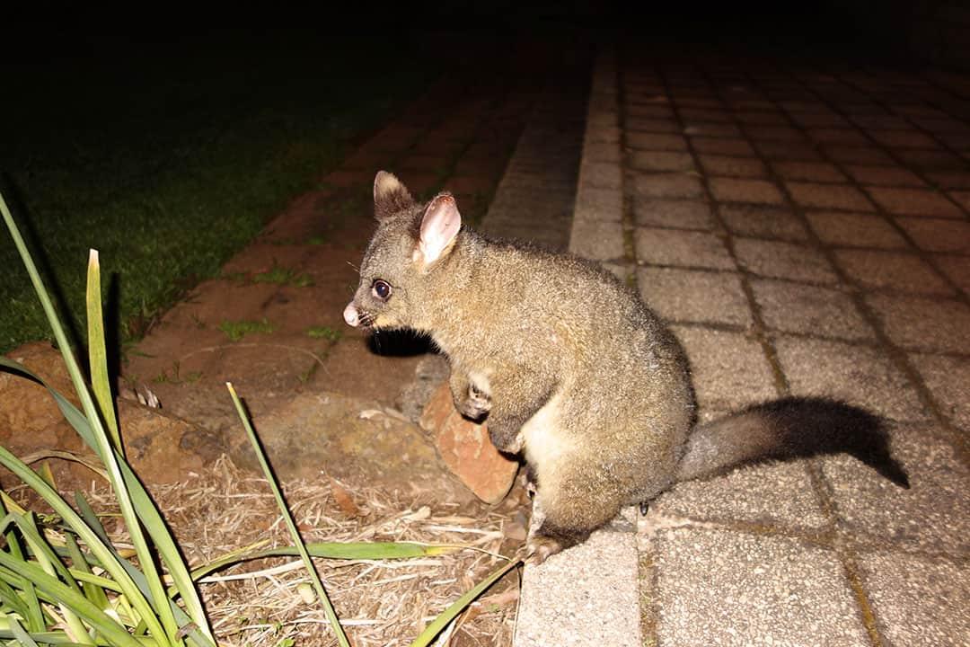 Possum at Black Bluff View Retreat