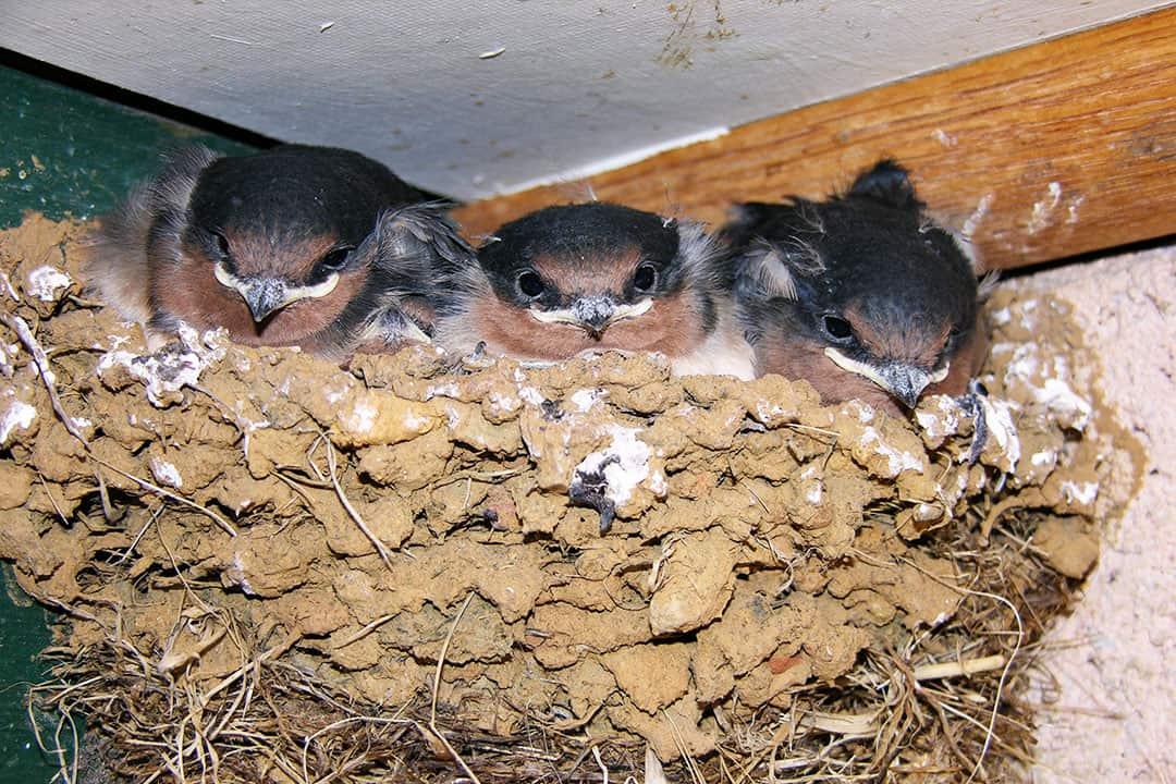 Swallows at Black Bluff View Retreat