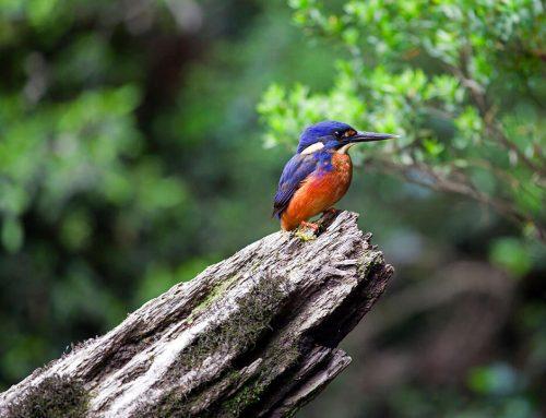 Tasmanian Azure Kingfisher